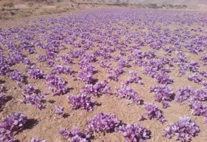 Saffron_Field