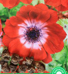 anemone-red-saffronvalue
