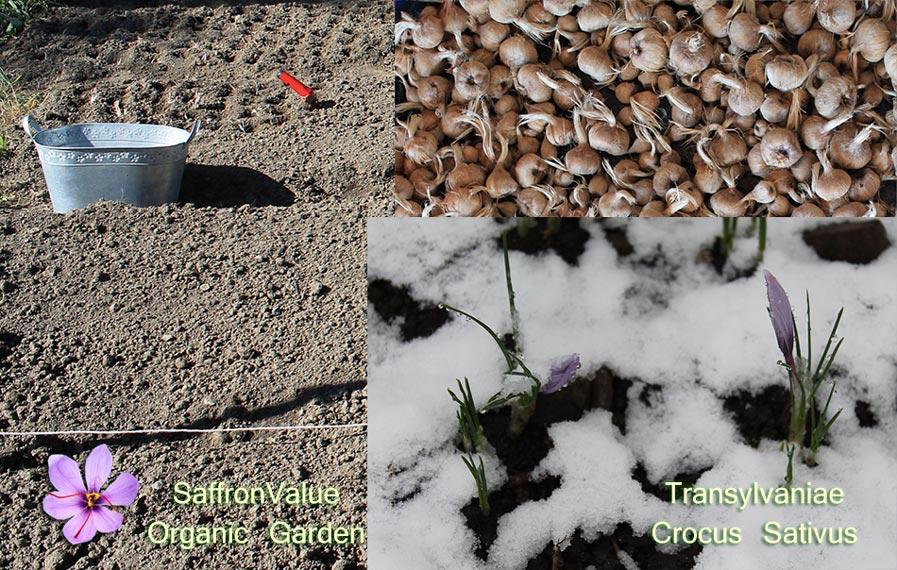 bulbs-wholesell-transylvaniae-crocus-sativus