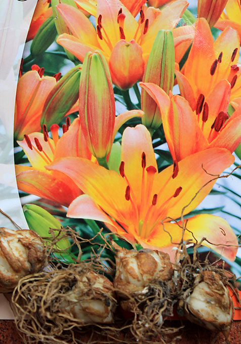 lilium orange bulbs