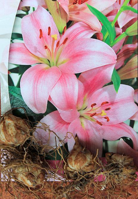 lilium-bulbs-pink