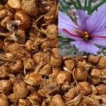 saffron bulbs safranbolu turkey saffron-value shop