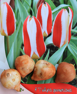 tulip-rosy